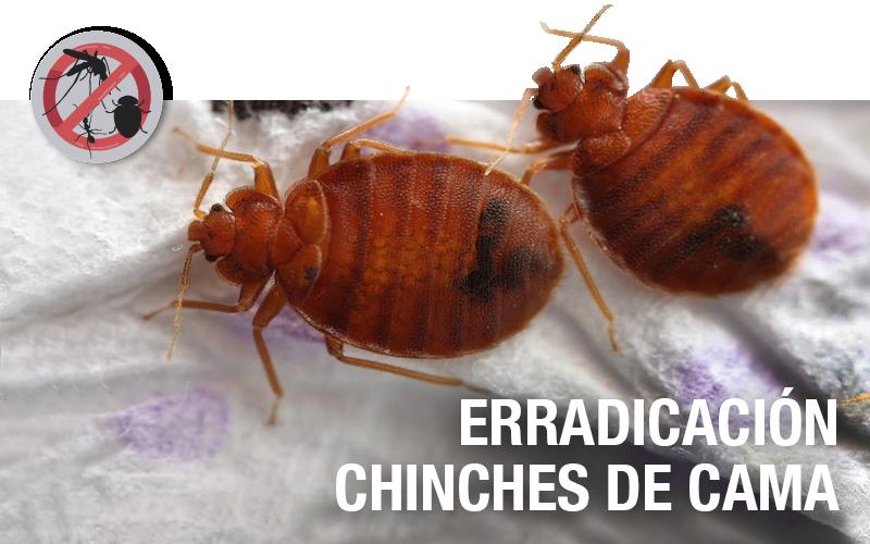 Erradicación de chinches de cama - PLAGASUR® | Control de Plagas en Puerto Montt - Puerto Varas - Osorno - Castro